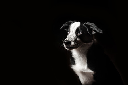 portrait of border collies puppy on black background photo