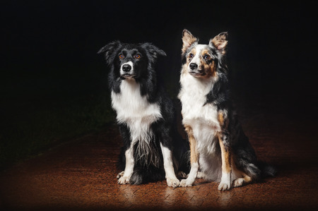 collies: two happy dogs border collies on black background
