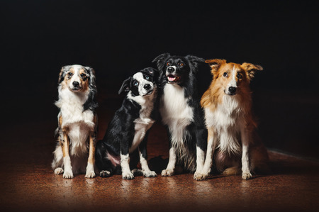 group of happy dogs border collies on black background