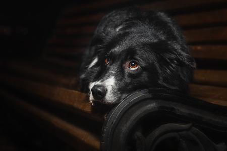 sad dog border collies lying on a bench