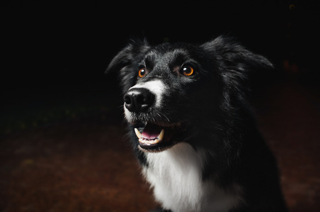 collies: happy dog border collies on black background Stock Photo