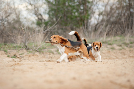 animals together: Group of funny beagle dog running in spring