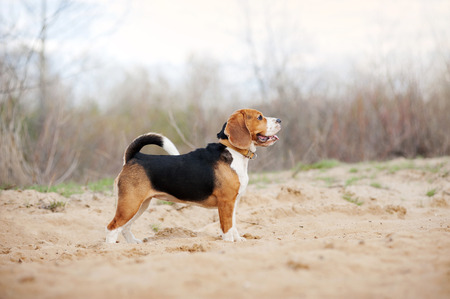 beagle: Beagle dog is standing in profile in the spring