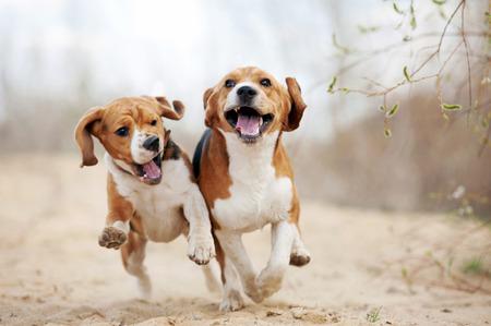 perro corriendo: Dos perros beagle divertido que se ejecutan en primavera juntos