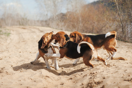 Group of funny beagle dog running in spring photo