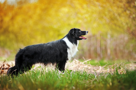 Young black and white border collie dog profile standing