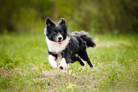 Young border collie dog running in the summer