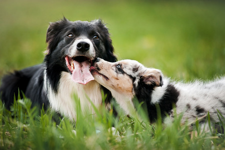 two: Old dog border collie and puppy playing in the summer