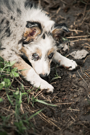 Pretty puppy border collie lying on the ground photo