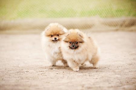Twee kleine Pommeren Spitz puppies buiten spelen