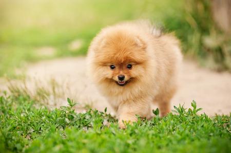 Small Pomeranian puppy walking in the green grass 版權商用圖片