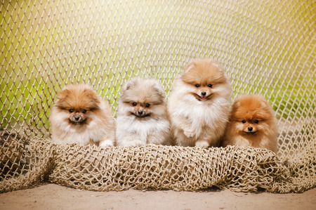 Four Pomeranian puppy Spitz looking at the camera in summer