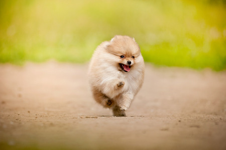 Small Pomeranian Spitz puppy running in summer photo