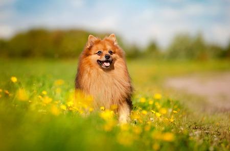 flowering field: cute pomeranian dog on the flowering field Stock Photo