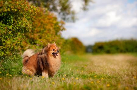cute pomeranian dog standing on the field photo