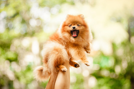 amigos abrazandose: lindo cachorro de Pomerania bosteza rojos en las manos Foto de archivo