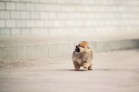 Small Pomeranian Spitz puppy walking in the city photo
