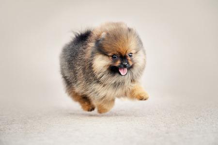 Pomeranianspitz puppy die op beige achtergrond lopen