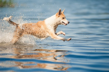 purebred red and white dog jumping in the water