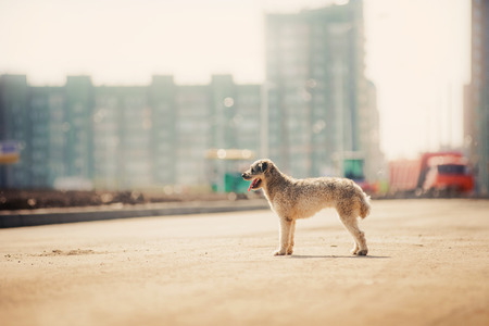 cute purebred curly red and white dog on the city backgroud photo