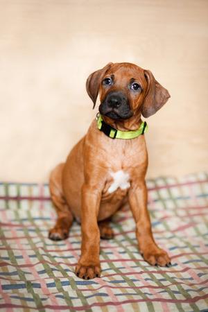 rhodesian: Little Rhodesian Ridgeback puppy in green collar at home