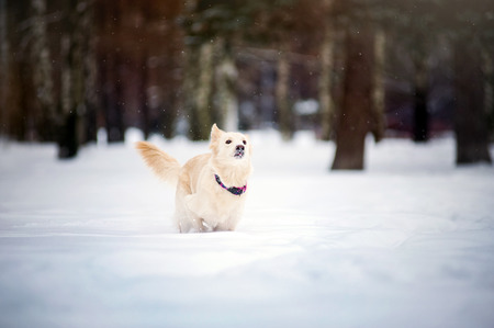 Lovely funny purebreed dog running in winter photo