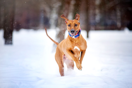 snow white: Lovely Rhodesian Ridgeback dog running in winter and looking at camera Stock Photo