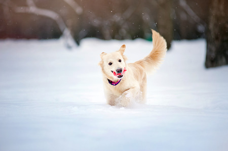 purebreed: Lovely funny purebreed dog running with toy in winter