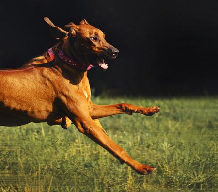 rhodesian: Lovely Rhodesian Ridgeback dog running in summer
