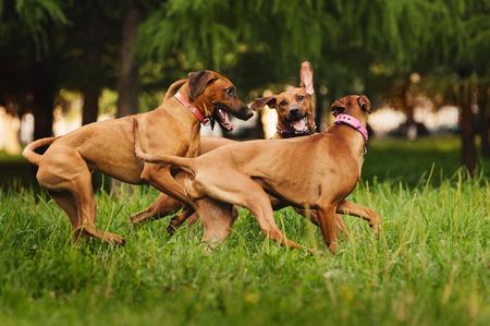 perros jugando: Perros Rhodesian Ridgeback que juegan juntos en el verano