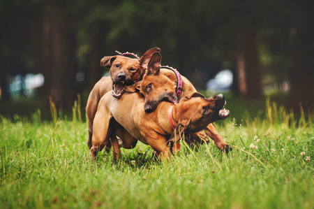 dogs playing: Rhodesian Ridgeback dogs playing together in summer
