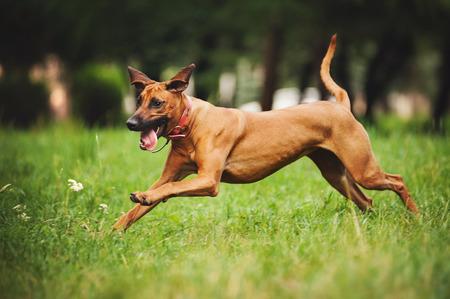 Lovely Rhodesian Ridgeback dog running in summer