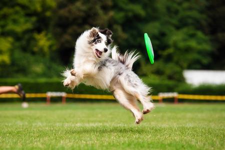 plastico pet: Perro del border collie está saltando en verano