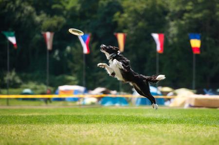 ボーダーコリー犬が夏にジャンプします。