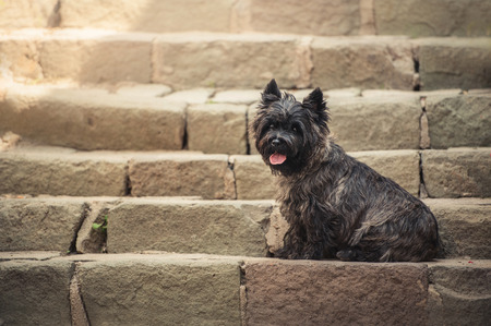 Cairn Terrier sitting at old staircase in Szentendre, summer Stock Photo