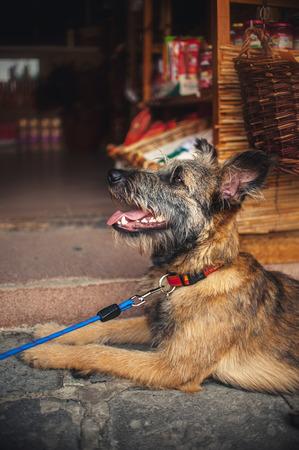 waits: cute dog lies and waits at the store, Hungary