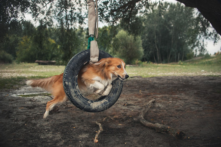 summer tire: red dog Border Collie jumping through a tire in summer