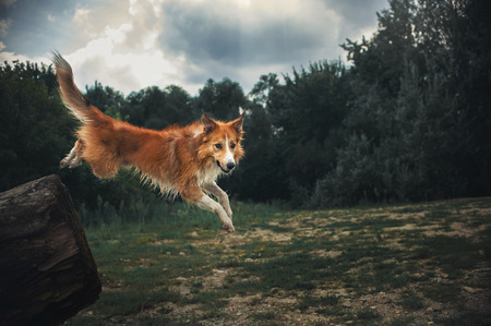 Red Border Collie dog  jumping from a dark forest in summer Stock Photo