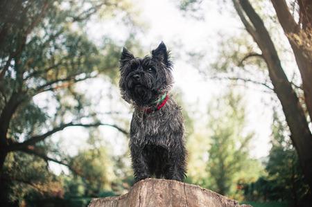 Cute Cairn Terrier dog, portrait close on sky backgrond 版權商用圖片