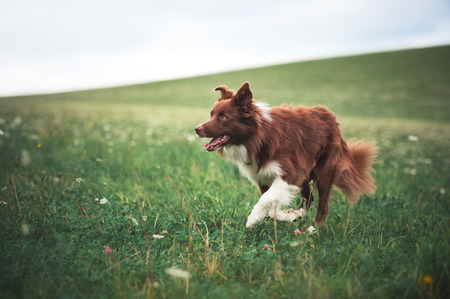 Red border collie dog running in a meadow, summer