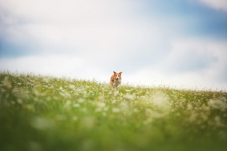 Red border collie dog running in a meadow, summer Stock Photo - 35911623