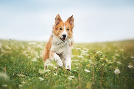 Red border collie dog running in a meadow, summer photo