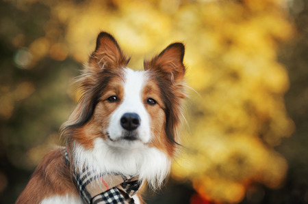 Red border collie dog wearing a scarf in autumn