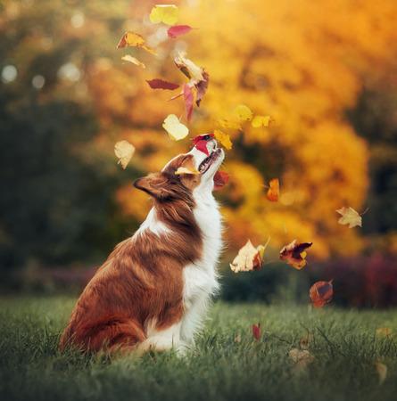 perros graciosos: joven perro border collie rojo juega con las hojas en otoño Foto de archivo