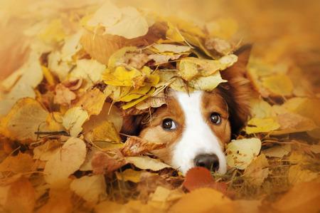 is playful: joven perro border collie rojo juega con las hojas en otoño Foto de archivo