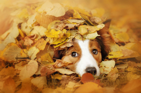 lying on leaves: young red border collie dog playing with leaves in autumn