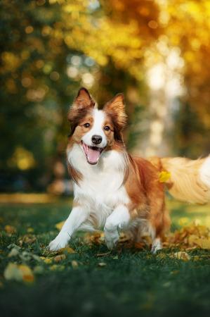 mladá červená border kolie pes hraje s listy na podzim