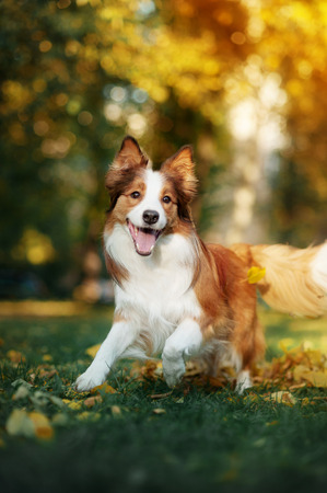 young leaf: young red border collie dog playing with leaves in autumn