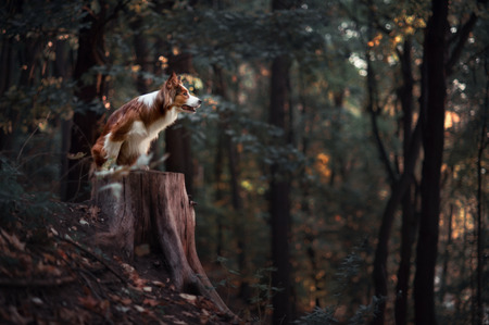 dog rock: Proud red border collie dog in a dark forest