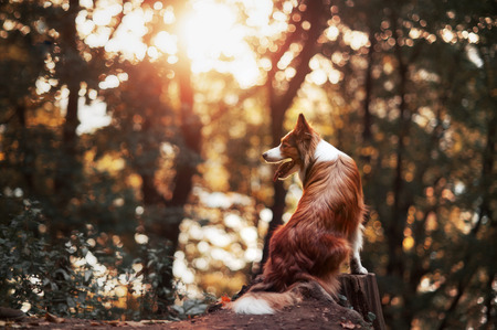 dog rock: Proud red border collie dog in a sunset forest